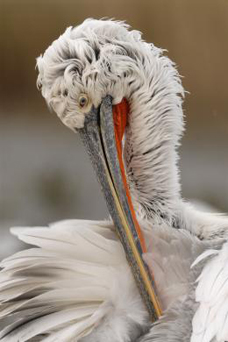 It is easy to see why the pelican was sometimes thought to pierce its own breast.